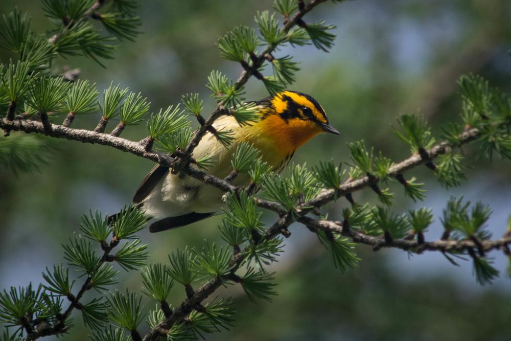 warblers in the adirondacks, adirondacks warblers, nature, wildlife, animal, bird, warbler, blackburnian warbler