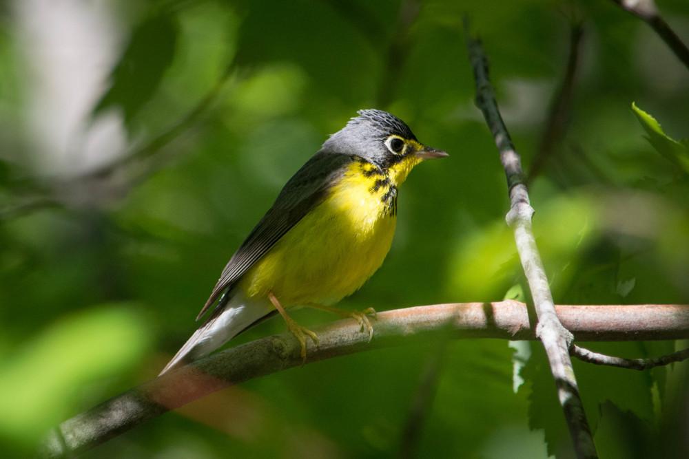 warblers in the adirondacks, adirondacks warblers, nature, wildlife, animal, bird, warbler, canada warbler