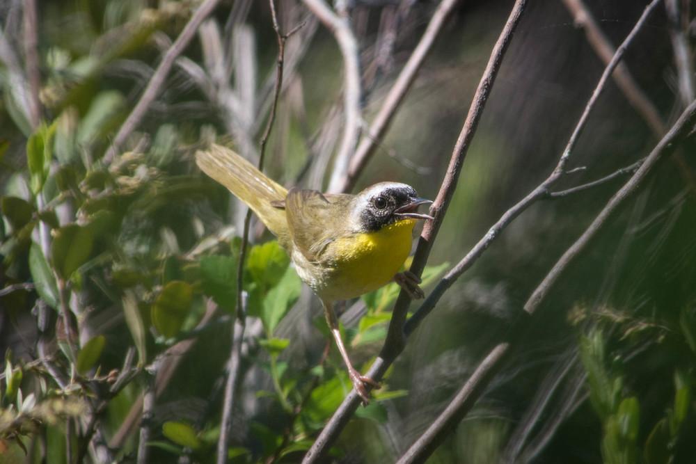 warblers in the adirondacks, adirondacks warblers, nature, wildlife, animal, bird, warbler, yellowthroat, common yellowthroat