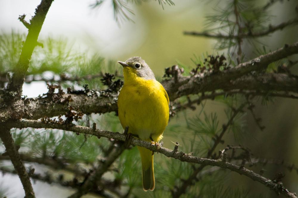 warblers in the adirondacks, adirondacks warblers, nature, wildlife, animal, bird, warbler, nashville warbler