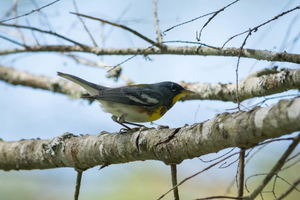warblers in the adirondacks, adirondacks warblers, nature, wildlife, animal, bird, warbler, parula, northern parula