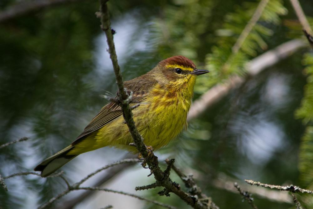 warblers in the adirondacks, adirondacks warblers, nature, wildlife, animal, bird, warbler, palm warbler