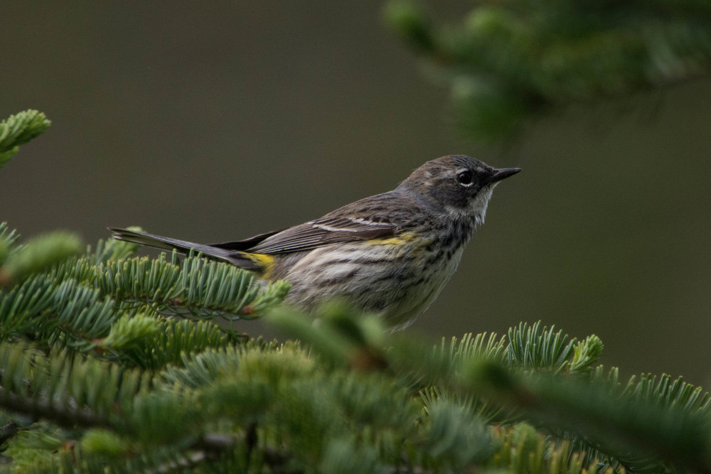 warblers in the adirondacks, adirondacks warblers, nature, wildlife, animal, bird, warbler, yellow-rumped warbler, myrtle warbler