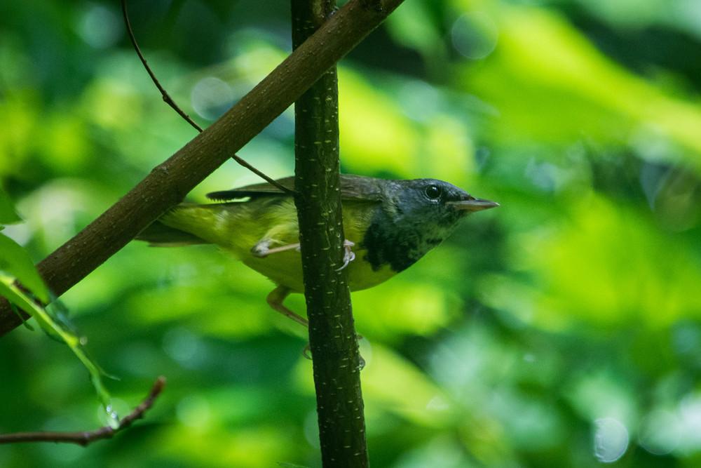 nature, wildlife, animal, bird, warbler, mourning warbler