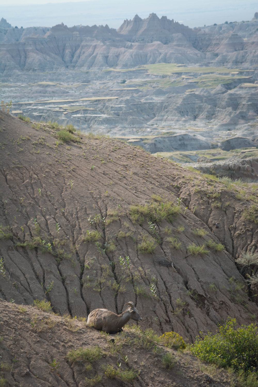 Bighorn Sheep-2.jpg