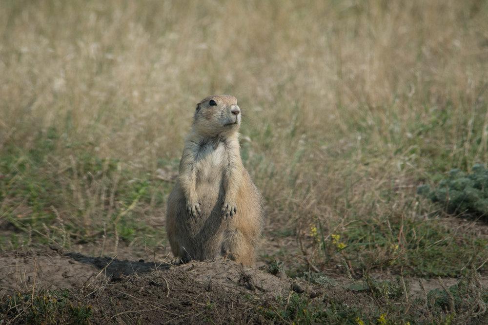 Prairie Dog-3.jpg