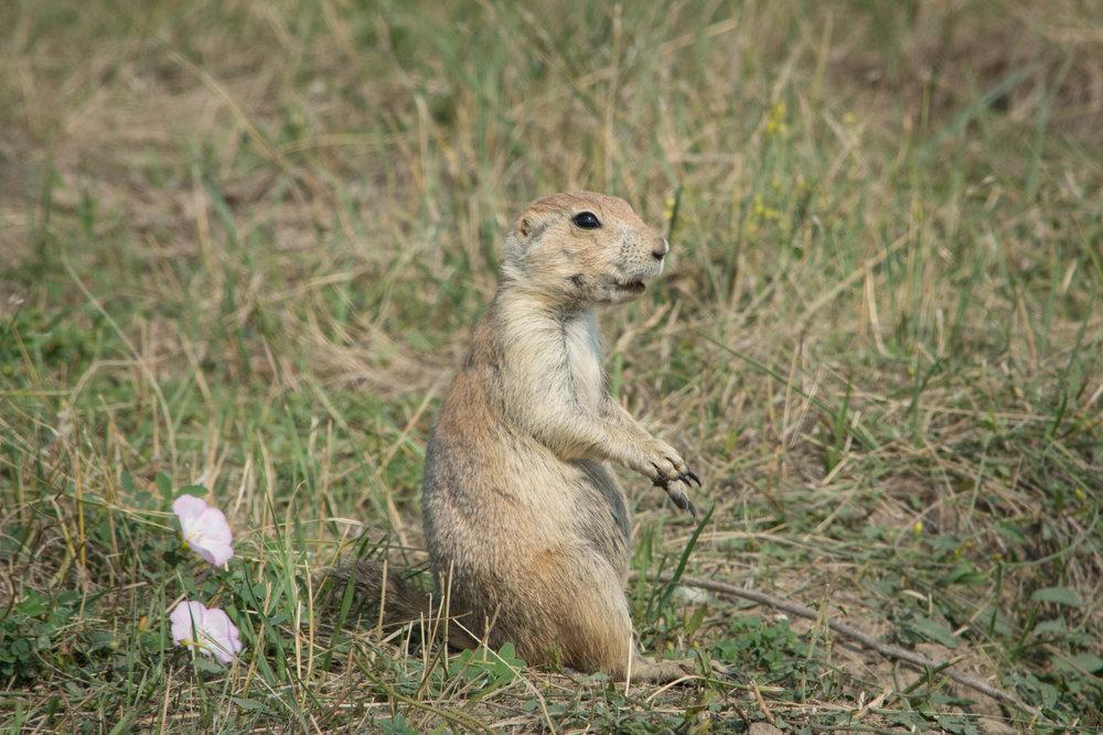 Prairie Dog-2.jpg