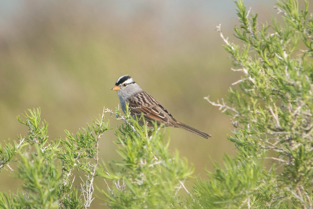 White-crowned Sparrow.jpg