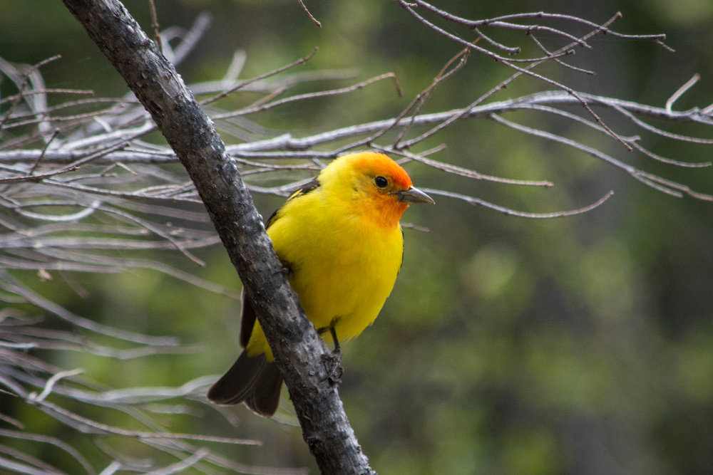 Western Tanager-2.jpg
