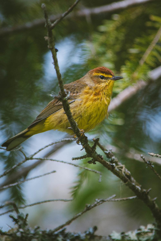 warbler-23.jpg