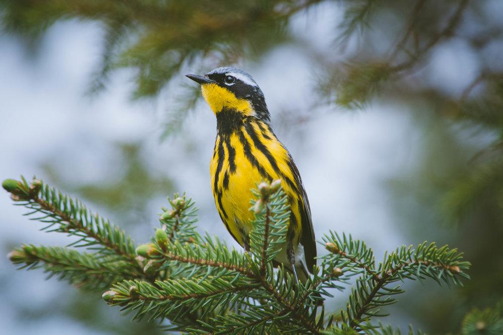 warbler-13.jpg