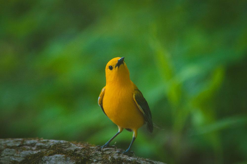 warbler-3.jpg