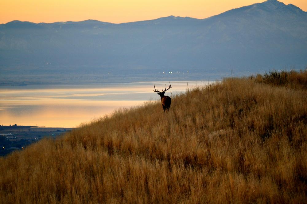 Suncrest Elk.jpg