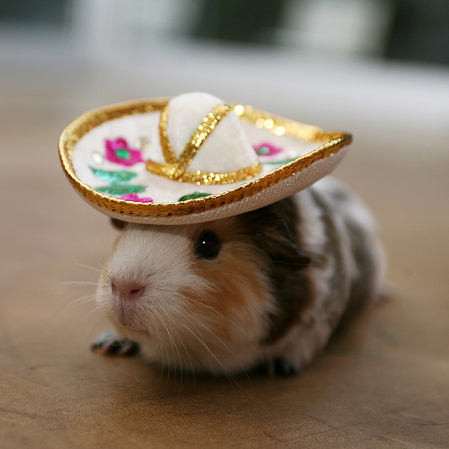 amelia got a baby guinea pig tonight. this isn't it, but… you get the idea.