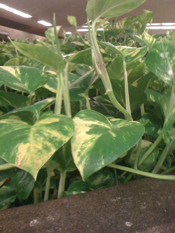 Longest 20 minutes of my life… Waiting for Kyle's flight in the Kahului airport…    Go figure i'd sit by the planter with the variegated pothos instead of the pretty flowers.  There's no one to even people watch.  Bah!    Patience being tested.  Sooooooooo excited and sooooooo happy I really can't stand it.