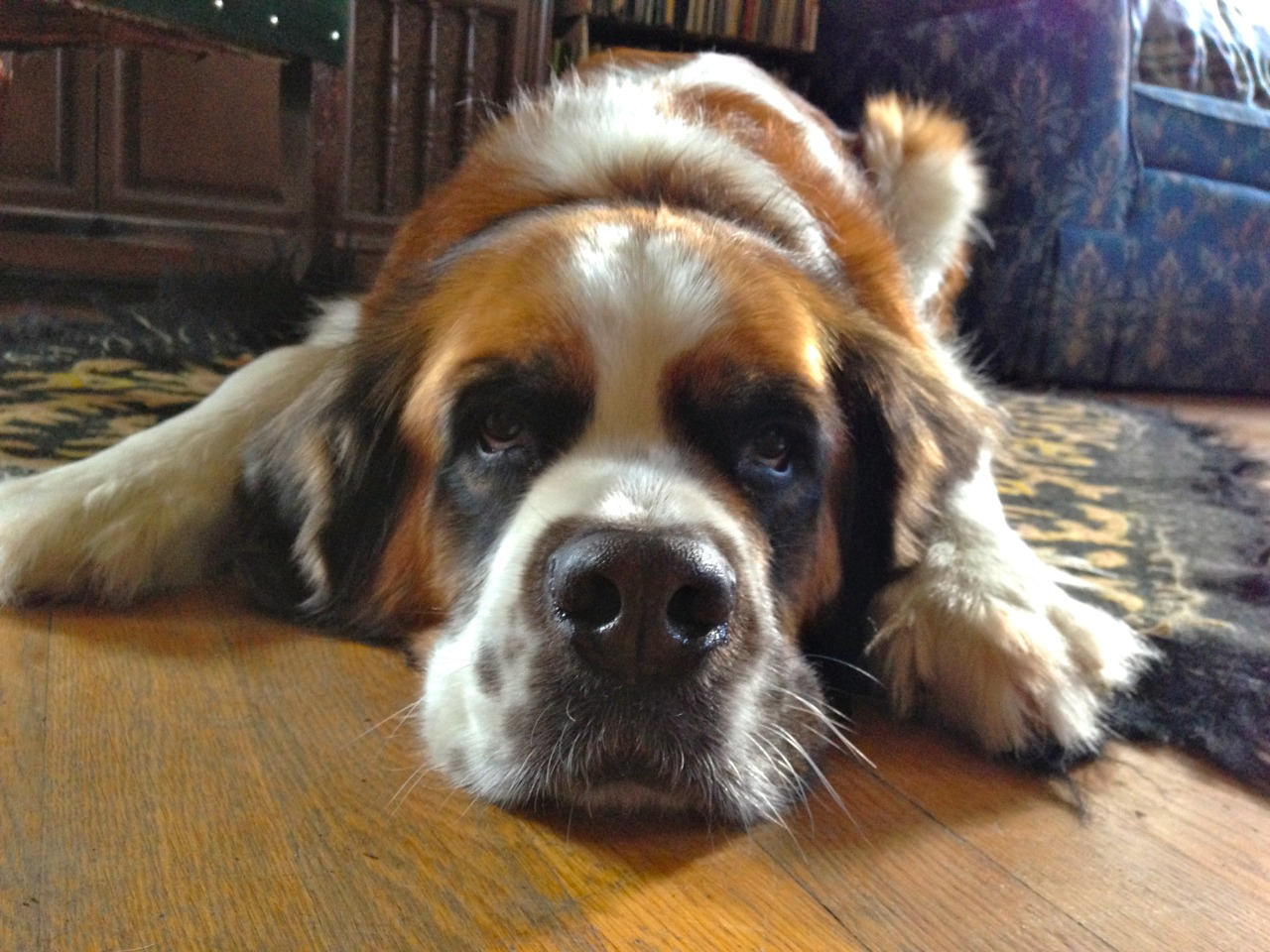 Lola the St. Bernard