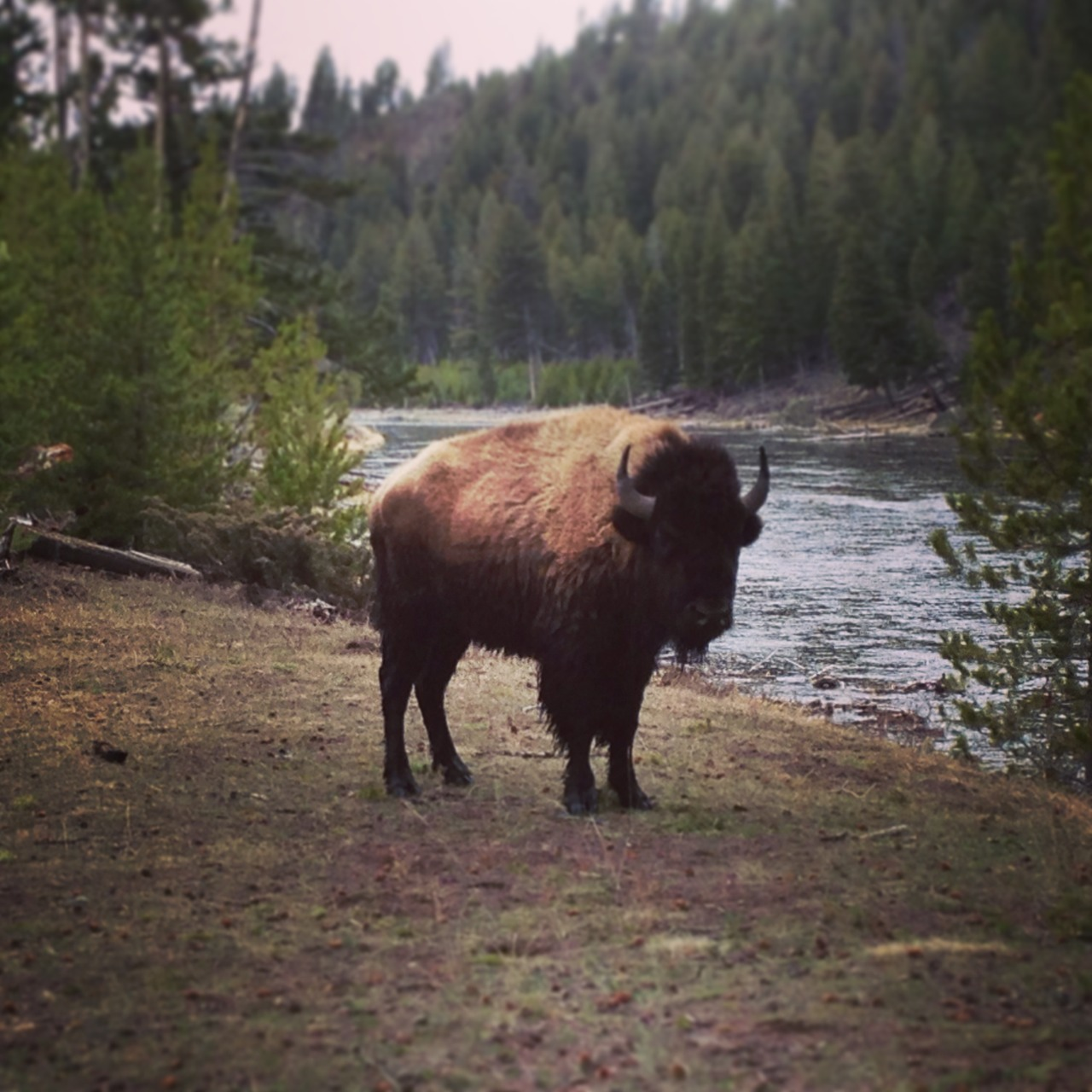 A fluffy buffalo crossed the river to say hello!