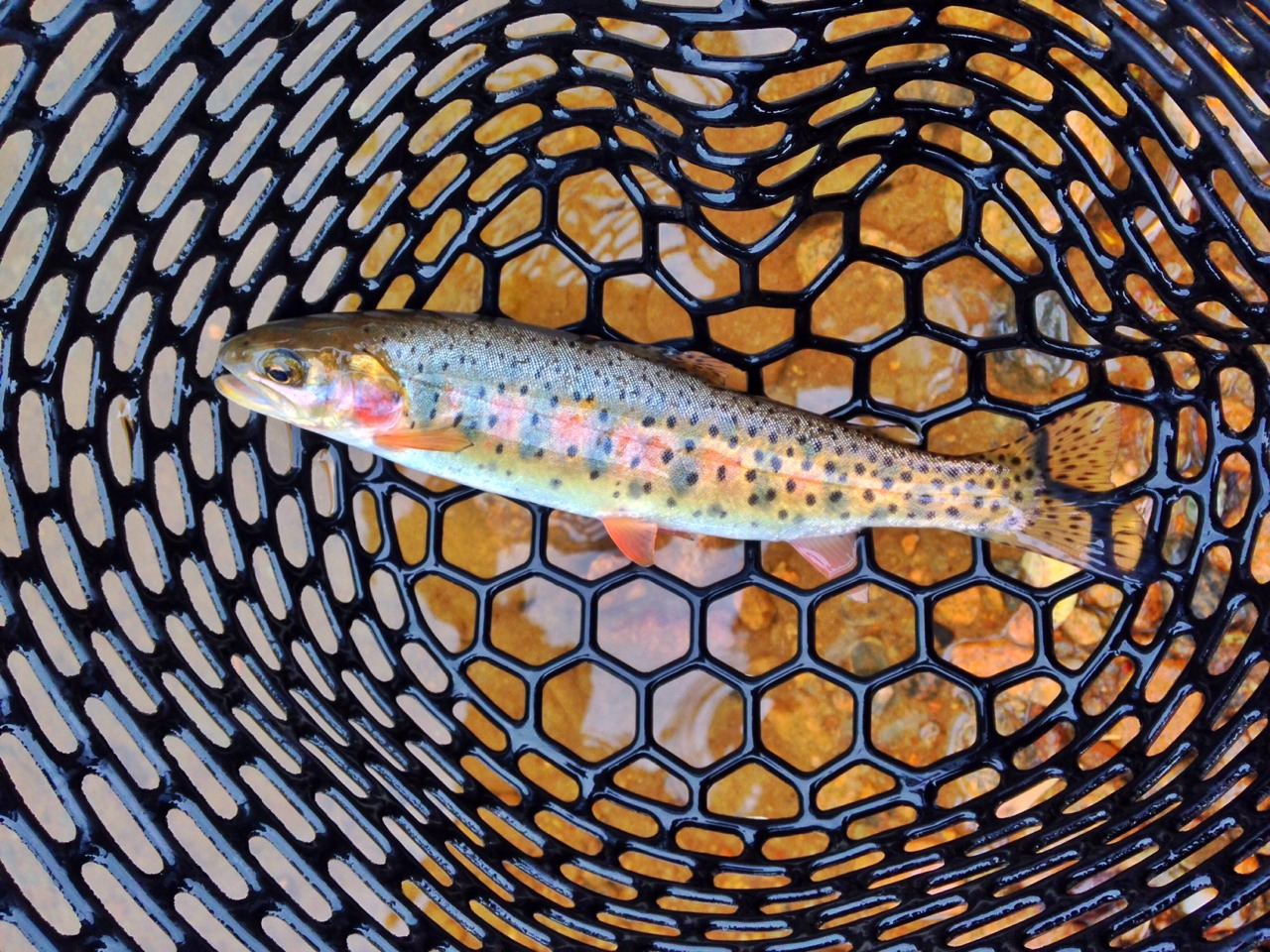 Beautiful cutthroat