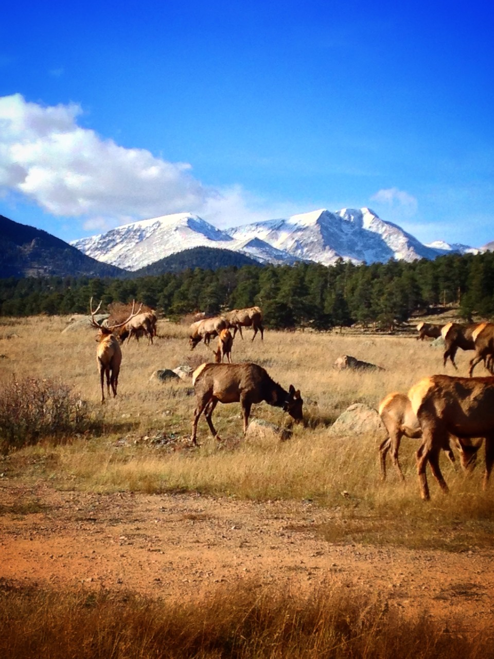 Stumbled on a herd of elk