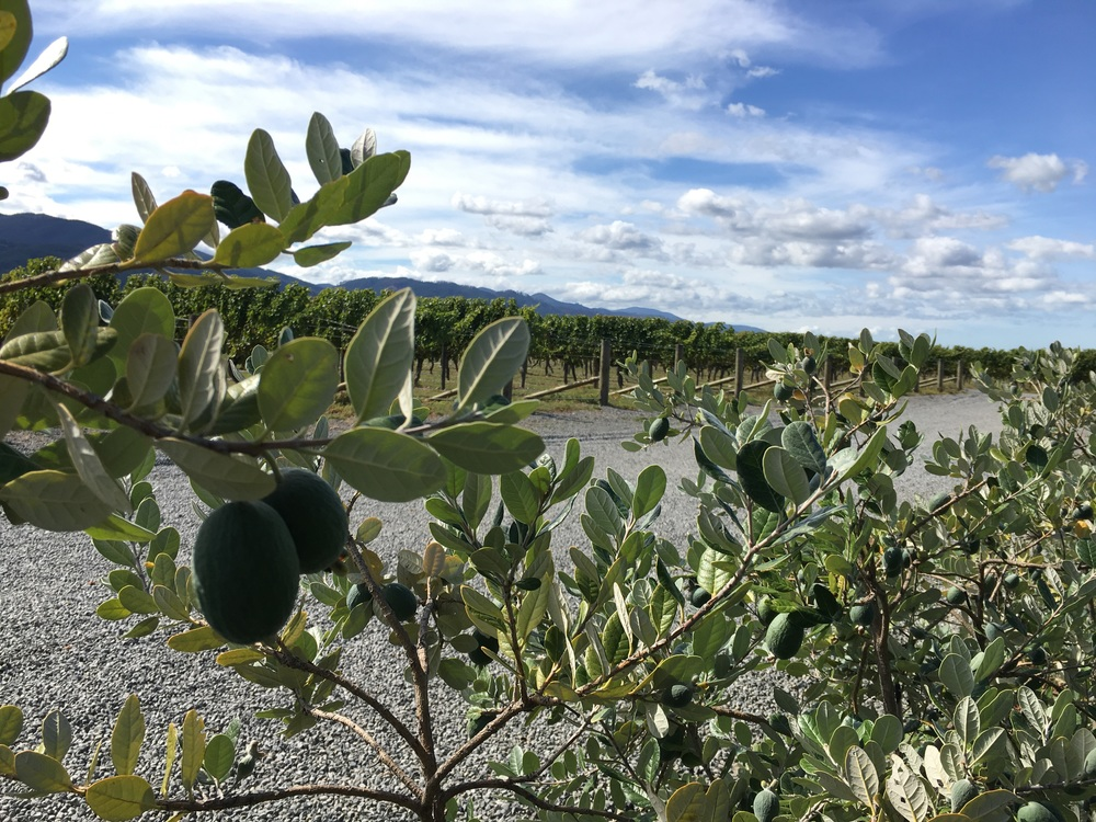 Feijoa plant at a Marborough winery! Yum.
