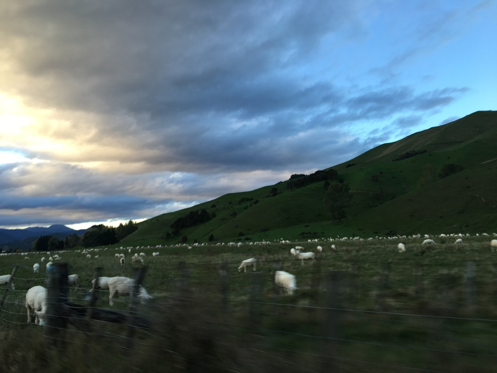 Drive-by sheep shooting