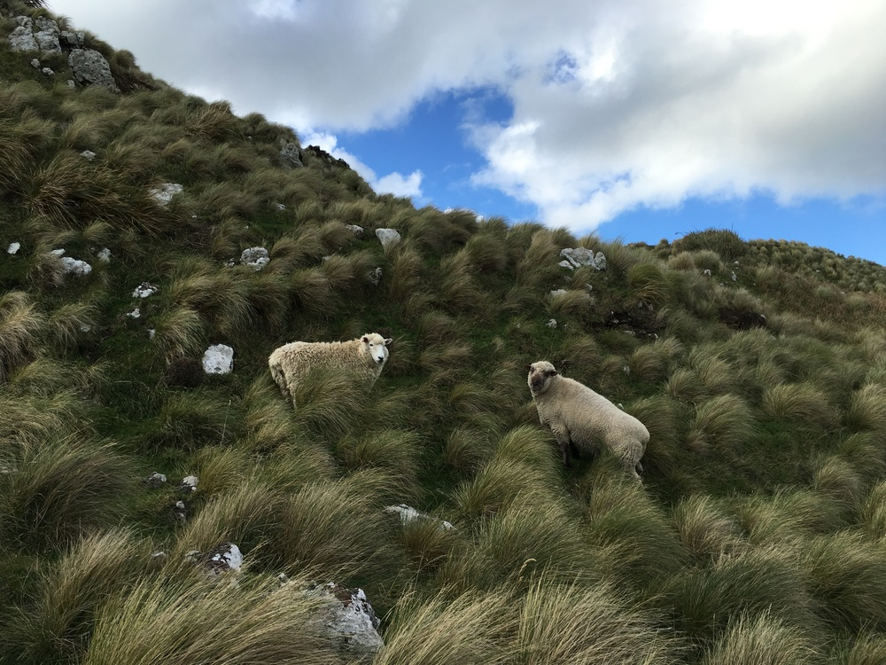 These sheep were clearly not paying attention to let me be this close