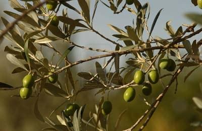 olives-tuscany-italy.jpg