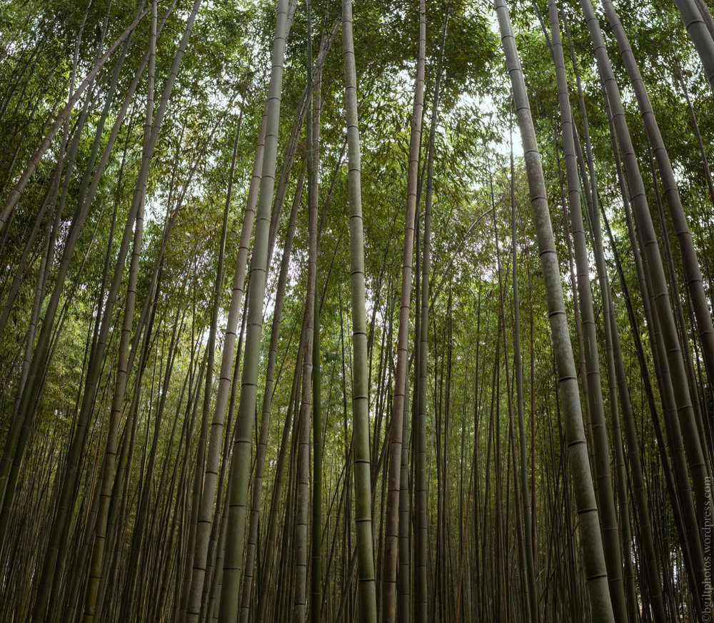Interlude, the Bamboo Being Admired | Credit: Boris Giltburg