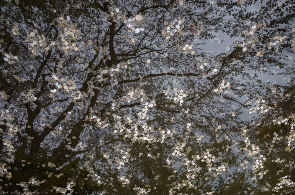 Sakura Petals in Kyoto | Credit: Boris Giltburg