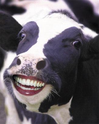 cow-smiling.jpg