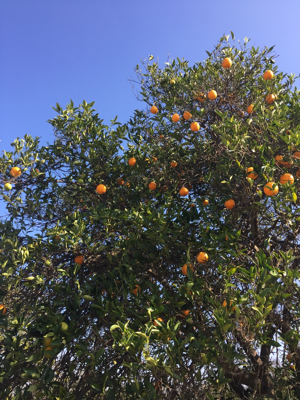 Oranges from an Orange Grove in San Juan Capistrano