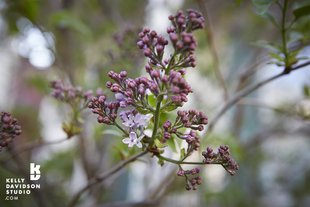 Lilacs starting to bloom -Norfolk St. Cambridge