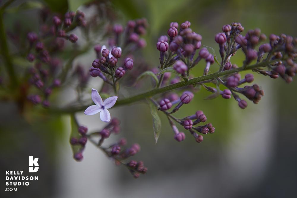 Lilacs blooming - Norfolk St. Cambridge