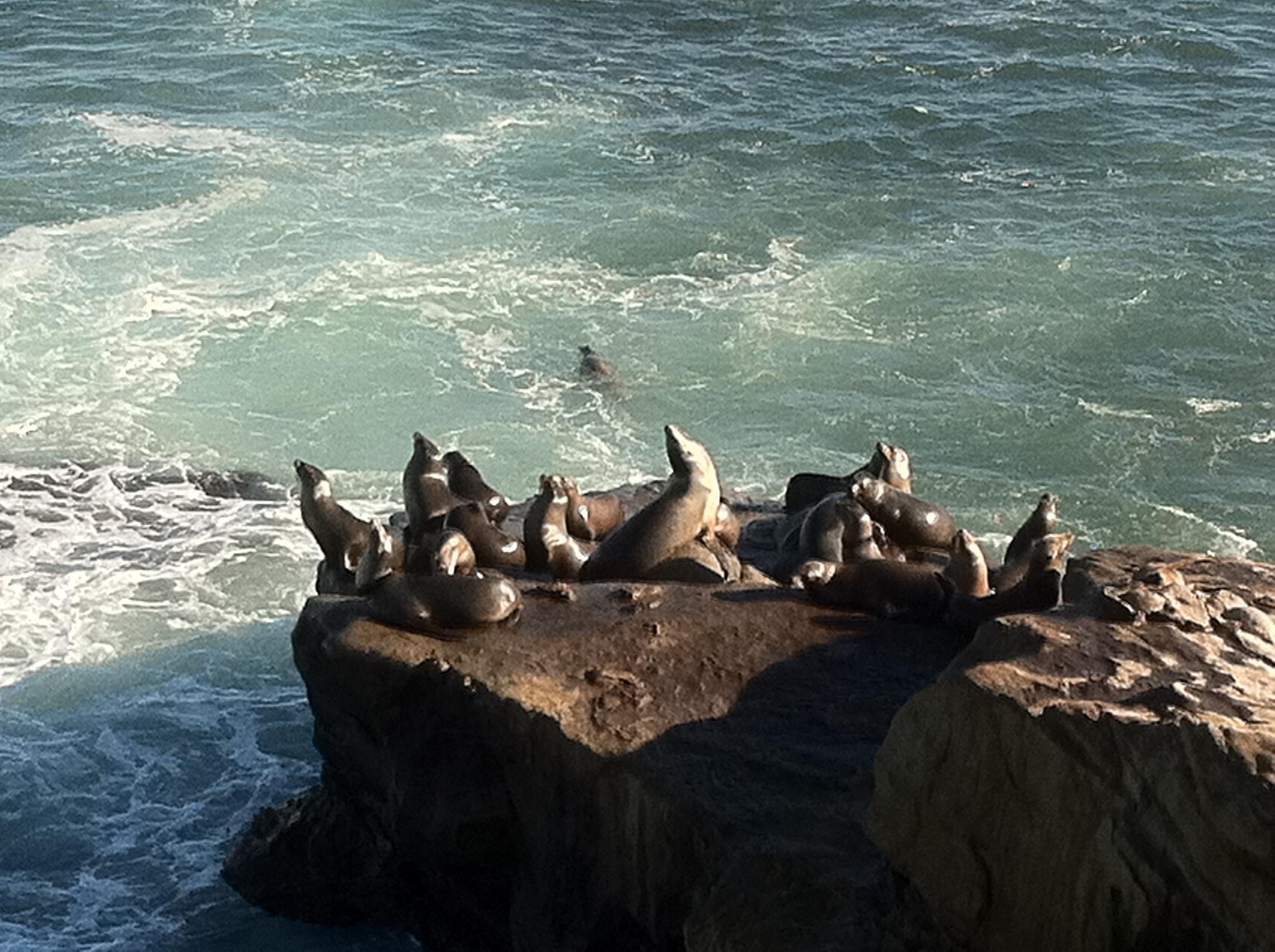 Seals in La Jolla