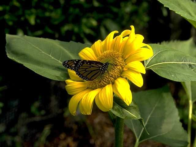 Bee&Flower.JPG