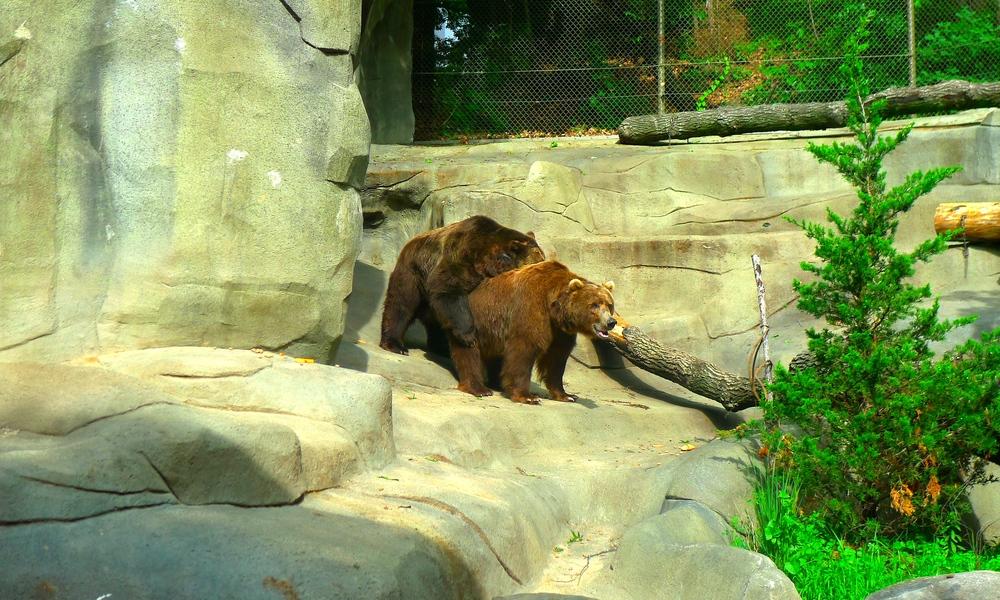 The 'hugging' bears at John Ball Zoo, Grand Rapids, MI.