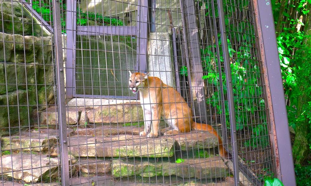 John Ball Park Zoo mountian lion.JPG