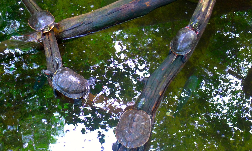 John Ball Park Zoo turtles.JPG