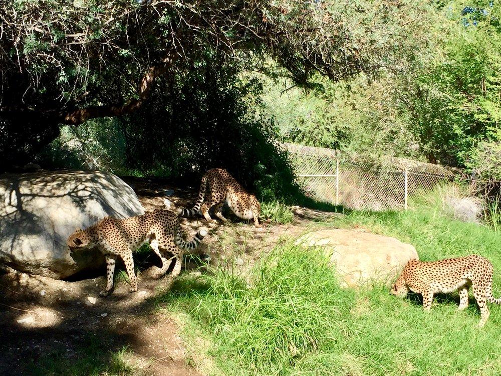 Living Desert Cheetahs.jpg