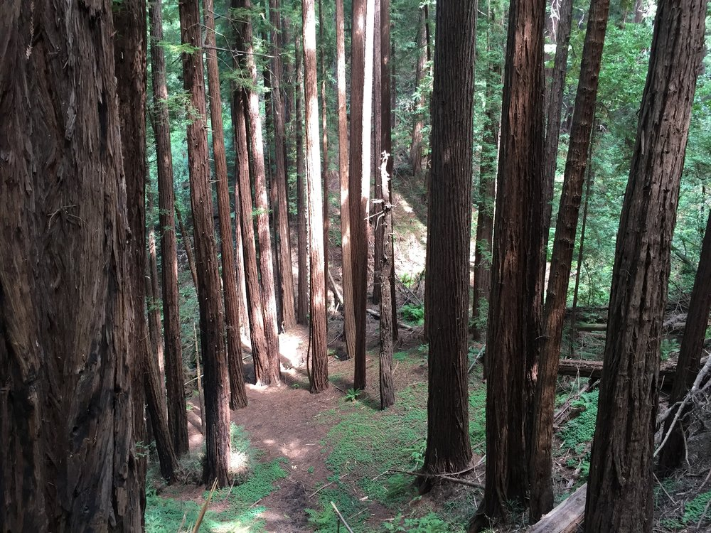 Muir Woods Trees.jpg