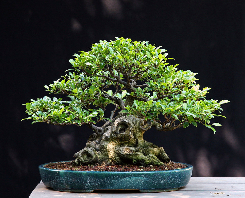 Ficus microcarpa. Winner of the 2012 A.B.S. John Naka Award Hobbyist Division, Grown in North America