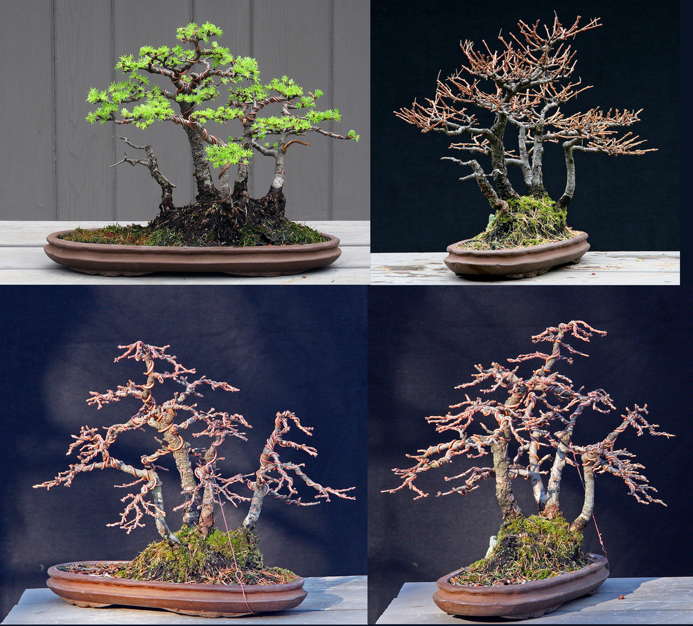 Here's a shot almost a year later. The top right shows the growth of my first year with the bonsai. The second two show it after the second styling and the search for a better front.