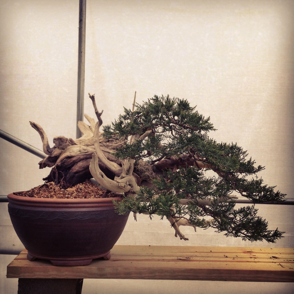A big Rocky Mountain Juniper I acquired from Bonsai Mirai in 2011. This is its first bonsai pot; a beautiful, slightly large Sara Rayner semi-cascade.