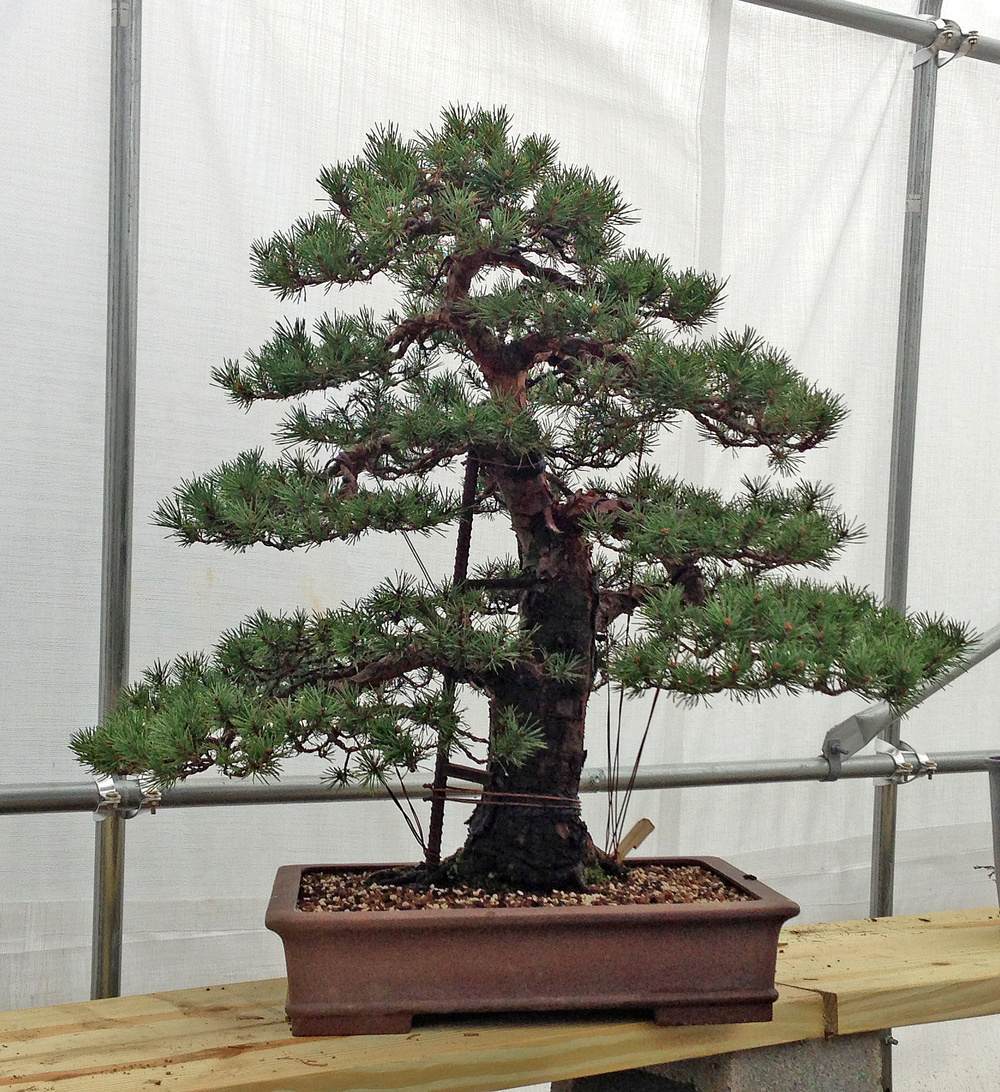 My Scots Pine 'Beuvronensis' that has been in development since 2004. Hope to remove all of the hardware next spring.