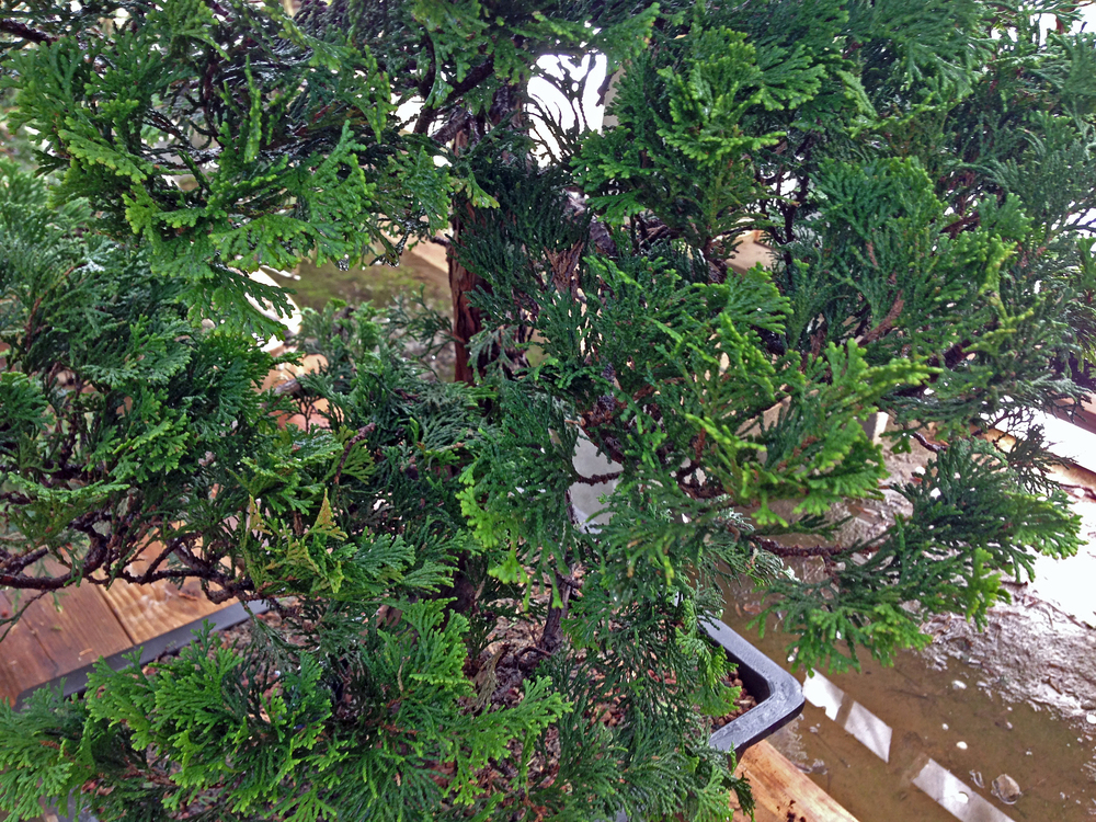 This is a large field-grown Hinoki cypress after having been heavily pruned and potted for the first time. Aftercare is clearly working for this tree.