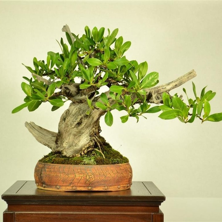 Collected Buttonwood in MC2 Pot by Michael Feduccia