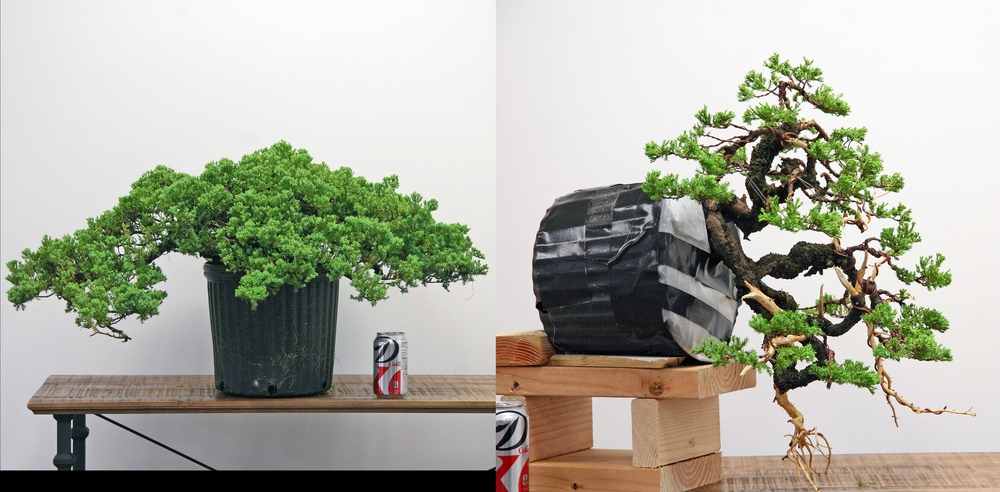 Before and after with the wonderful pre-bonsai material you'll work with in this workshop.