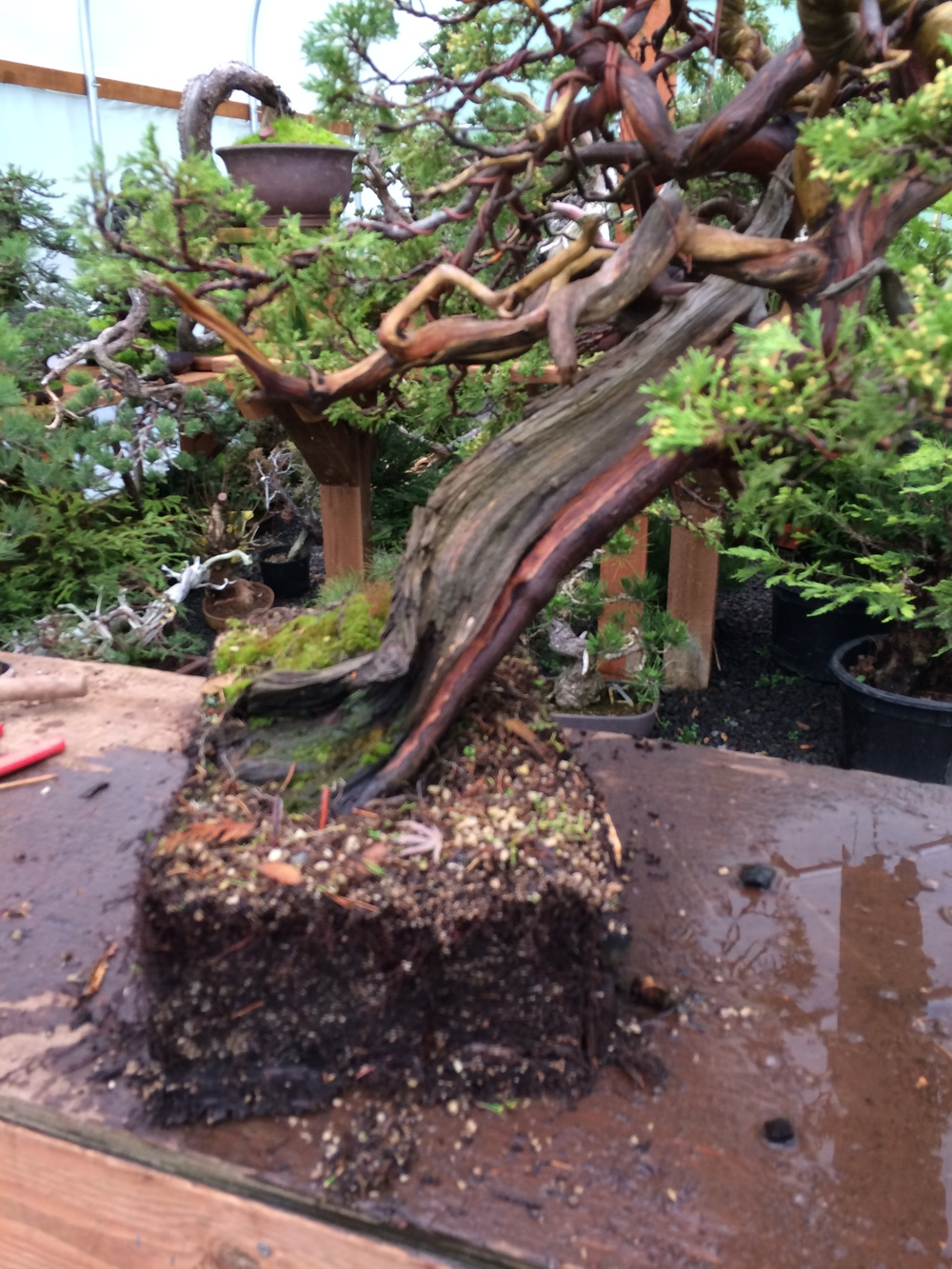 More blur, but a great view of the healthy root system of this collected tree in pumice that it went into immediately after collection by the talented Randy Knight.