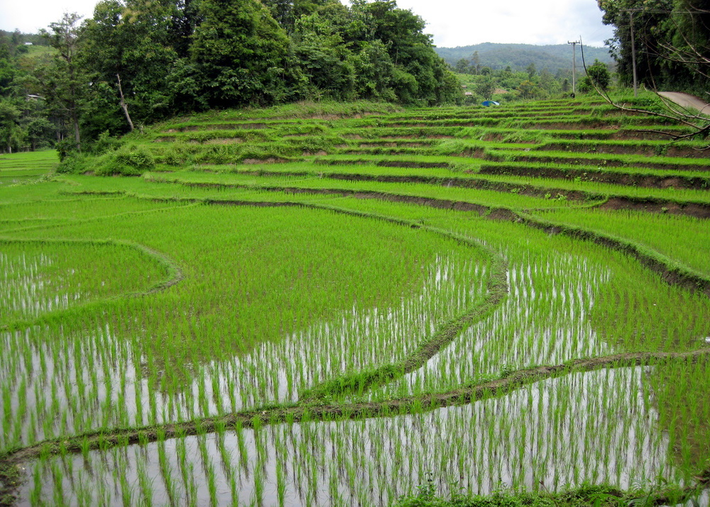 Rice_fields_Chiang_Mai.jpg