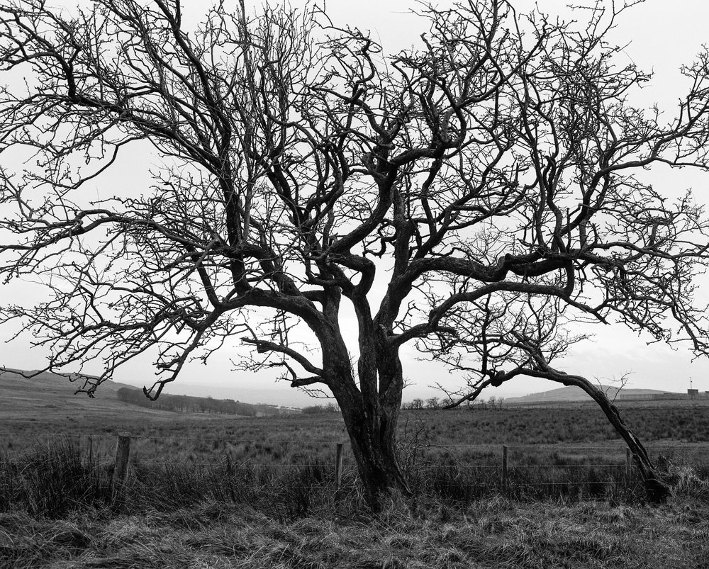 Hawthorn Tree No 3 ©Laurence Gibson